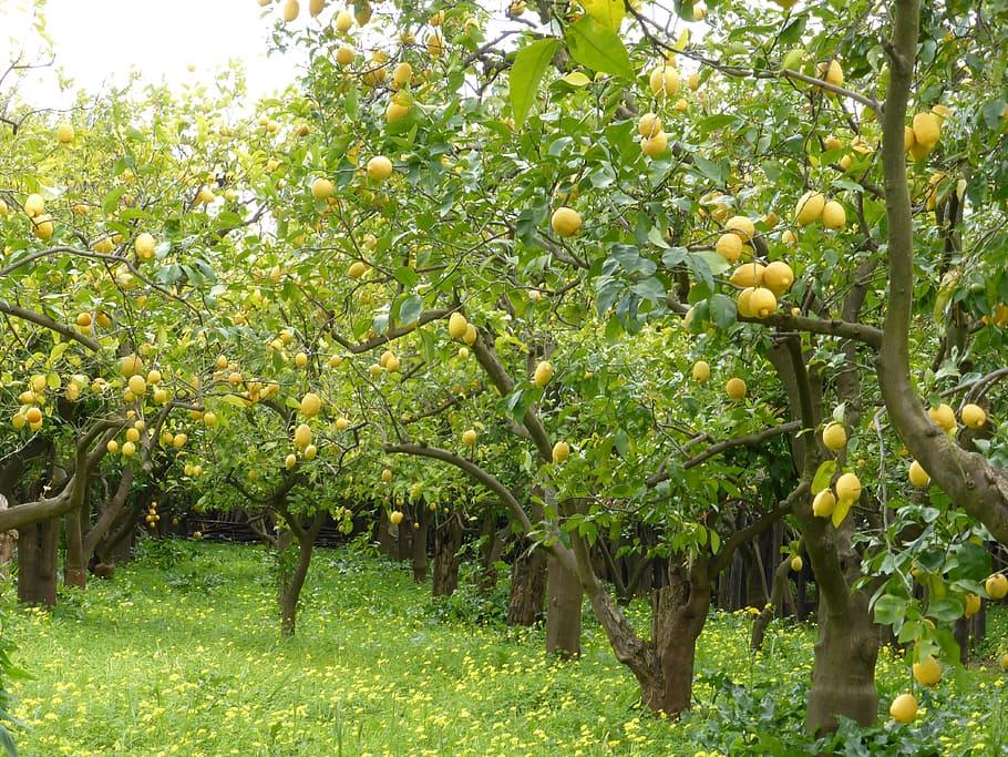 lemon-grove-lemons-lemon-trees-green