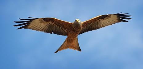red kite 2 cropped